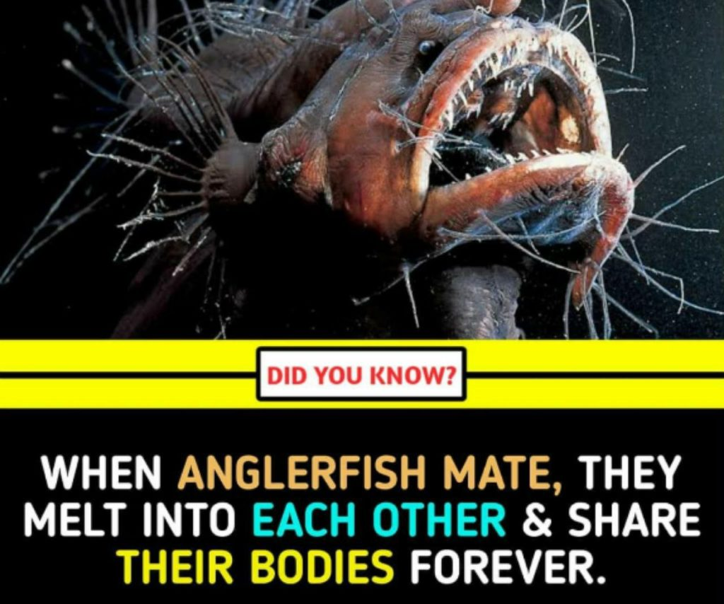 When Anglerfish Mate, they melt into each other & share their bodies forever