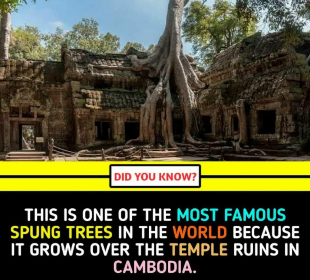 This is one of the Most Famous spung trees in the world because it grows over the temple ruins in Cambodia